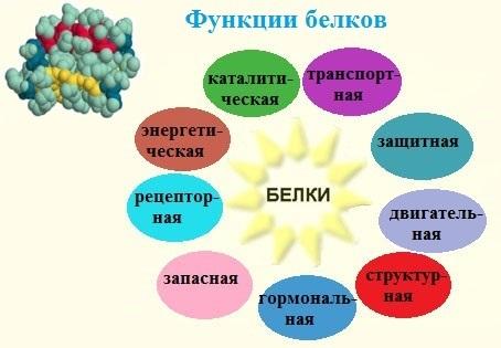 Основные функции белков в клетке